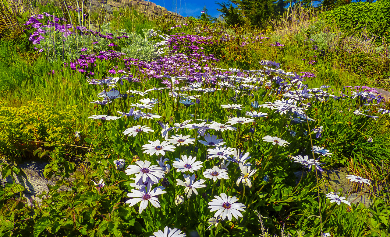 Images Nature Camomiles Grass matricaria