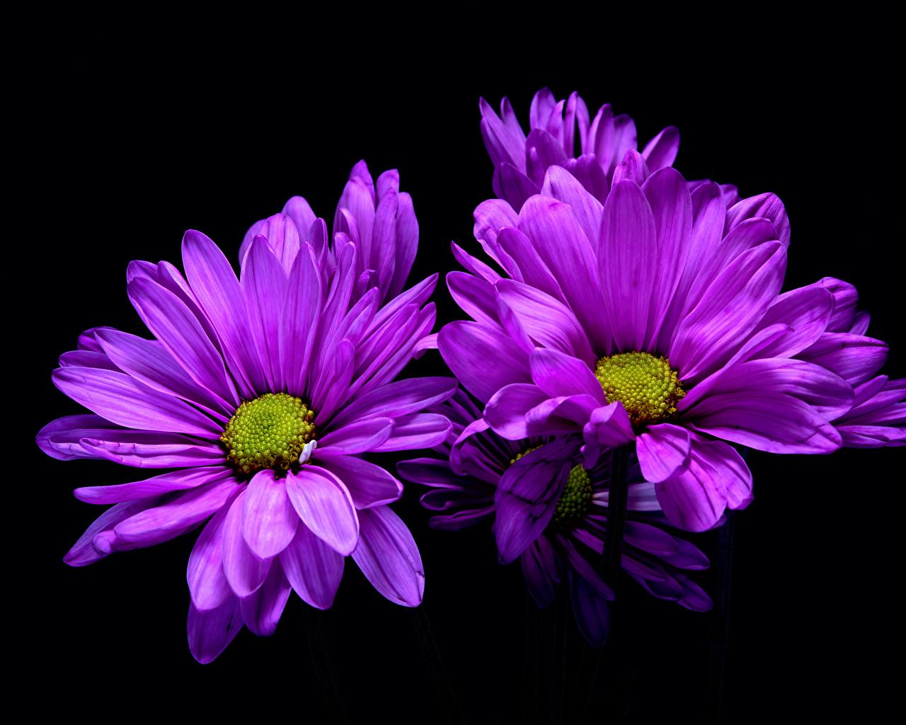Photo Violet Flowers Chrysanthemums Closeup Black background Mums flower Chrysanths