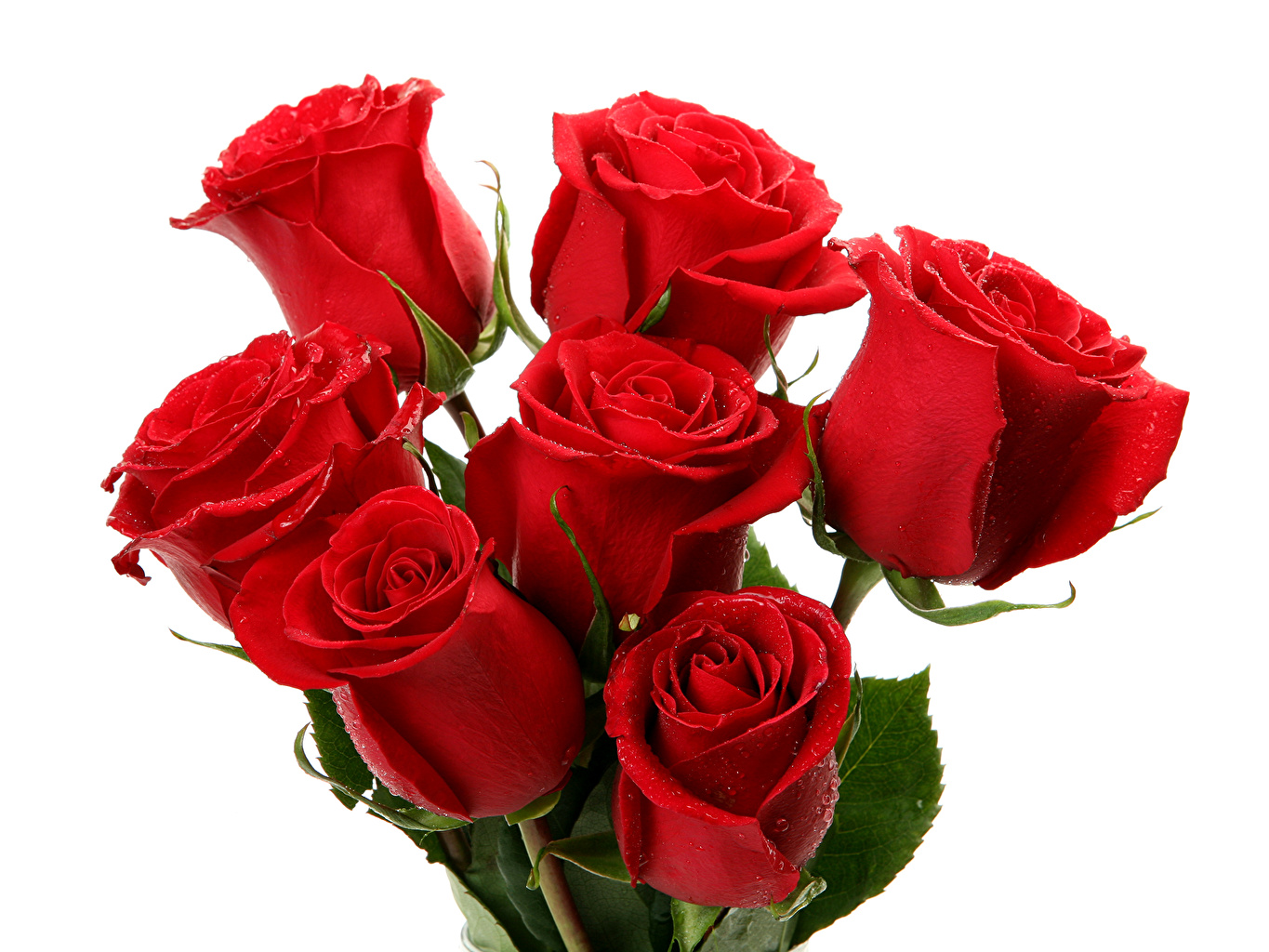 Wallpaper Red Roses Flowers White background
