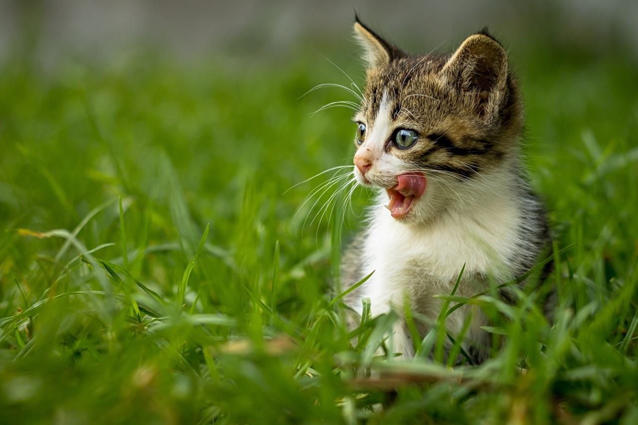 Bilder von Katzenjunges Hauskatze Zunge Gras ein Tier Kätzchen Katze Katzen Tiere