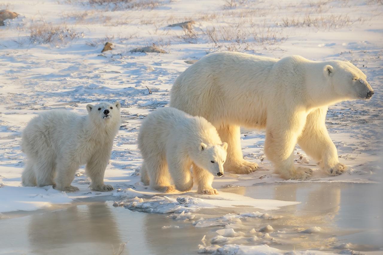 Image Polar bears Cubs Mother Ice Three 3 Animals animal