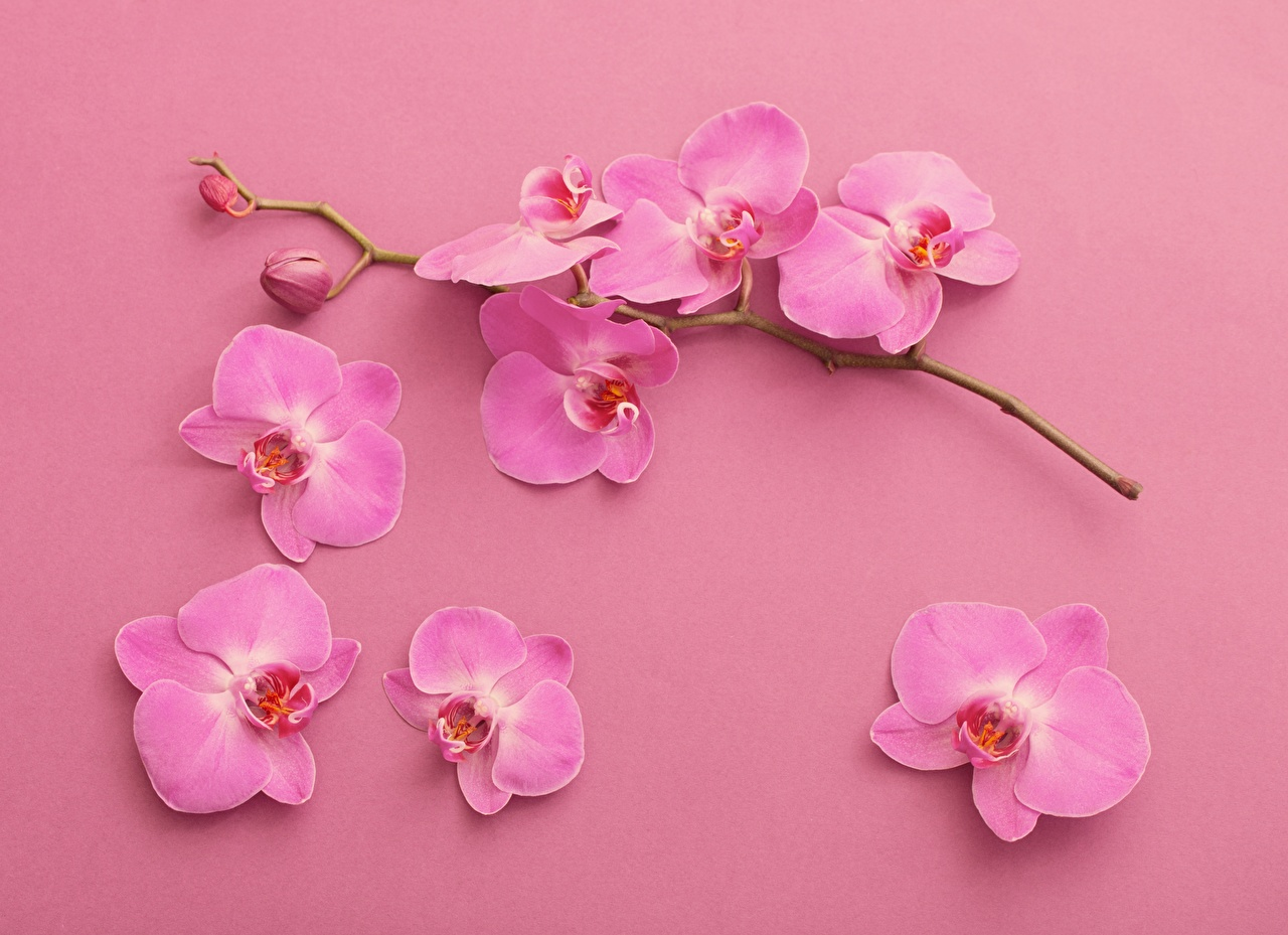 Image Petals orchids Pink color flower Branches Orchid Flowers