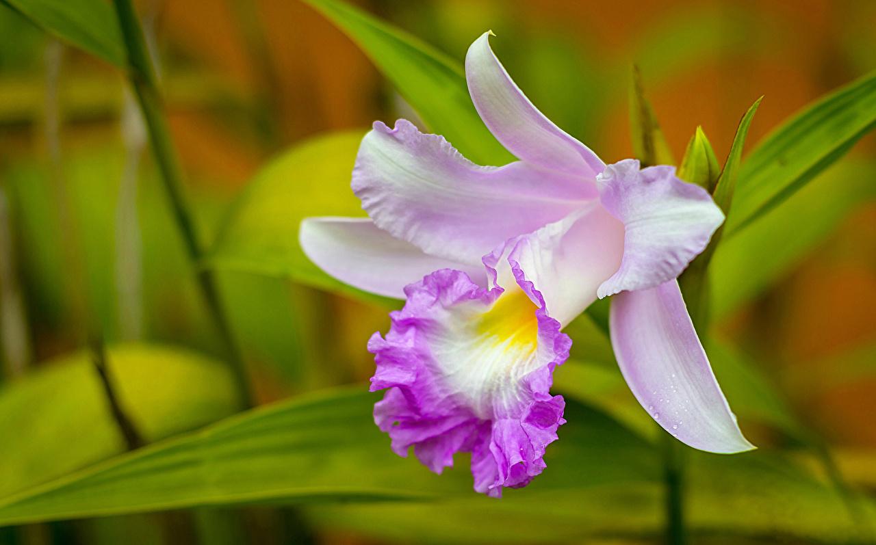 Papeis De Parede De Perto Orquídea Cattleya Flores Baixar
