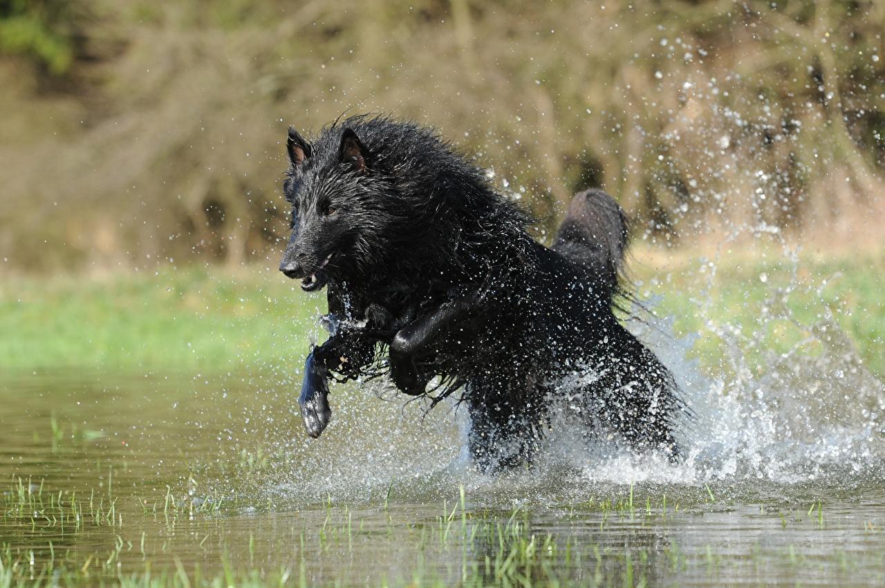 Foto Tiere Shepherd Hunde Schwarz Sprung Spritzer Belgischer Schäferhund
