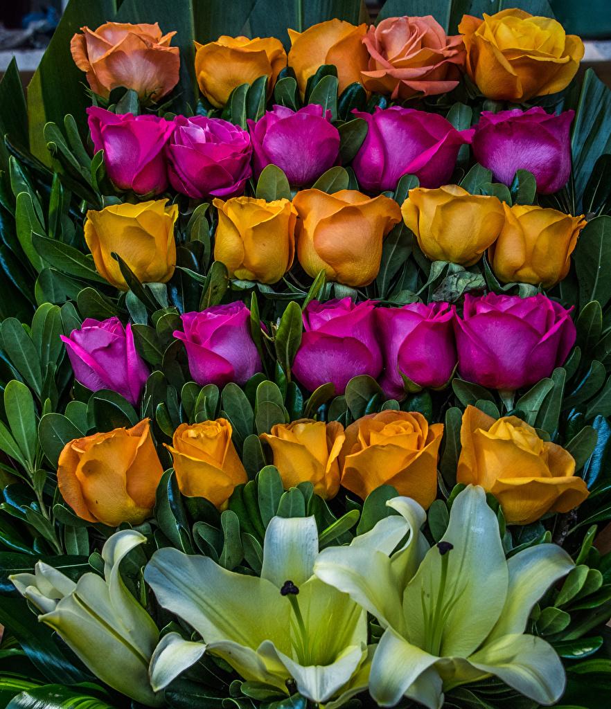 Desktop Hintergrundbilder Rose Lilien Blumen Design Rosen Blüte
