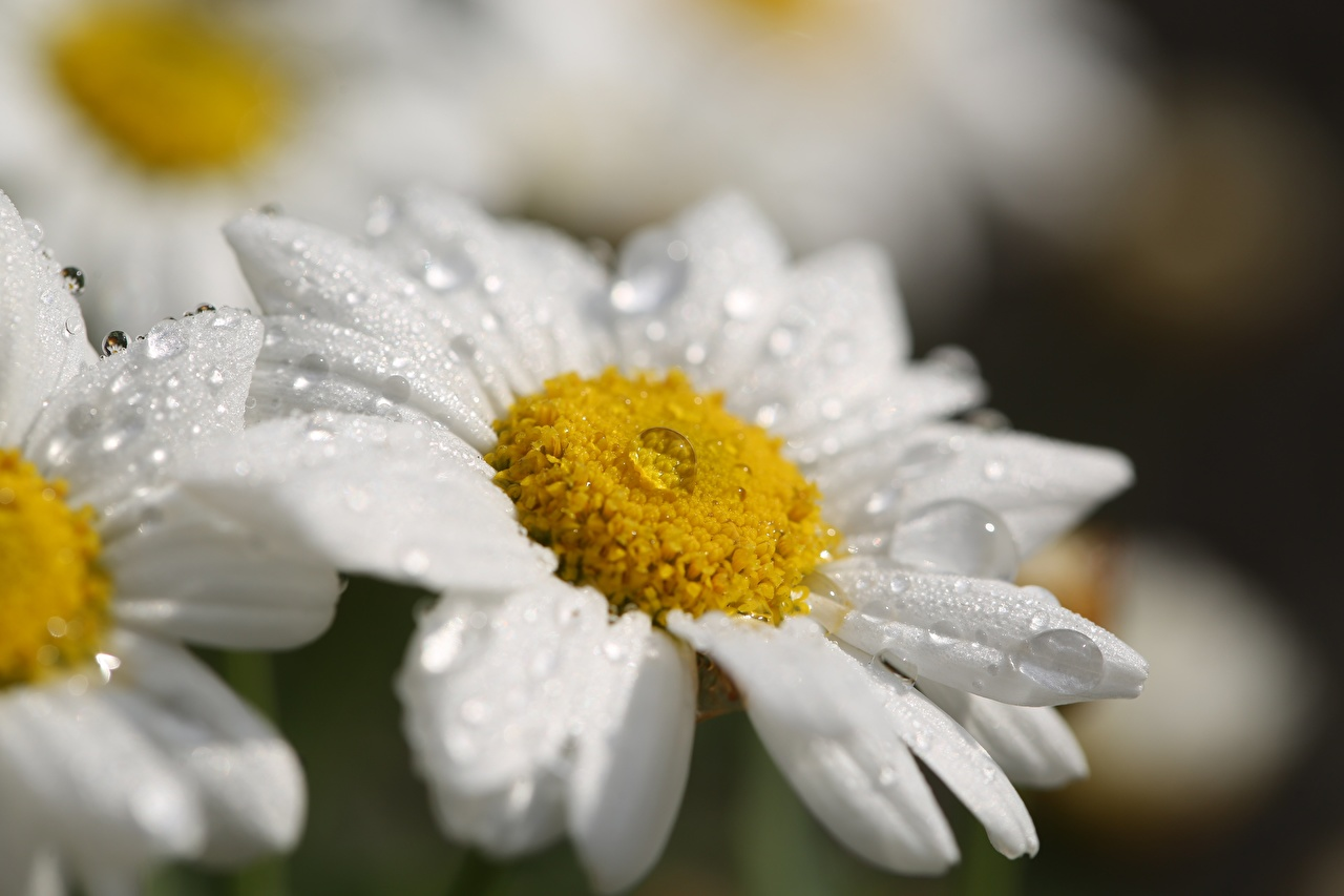 Photos Bokeh White Drops flower Camomiles Closeup blurred background Flowers matricaria