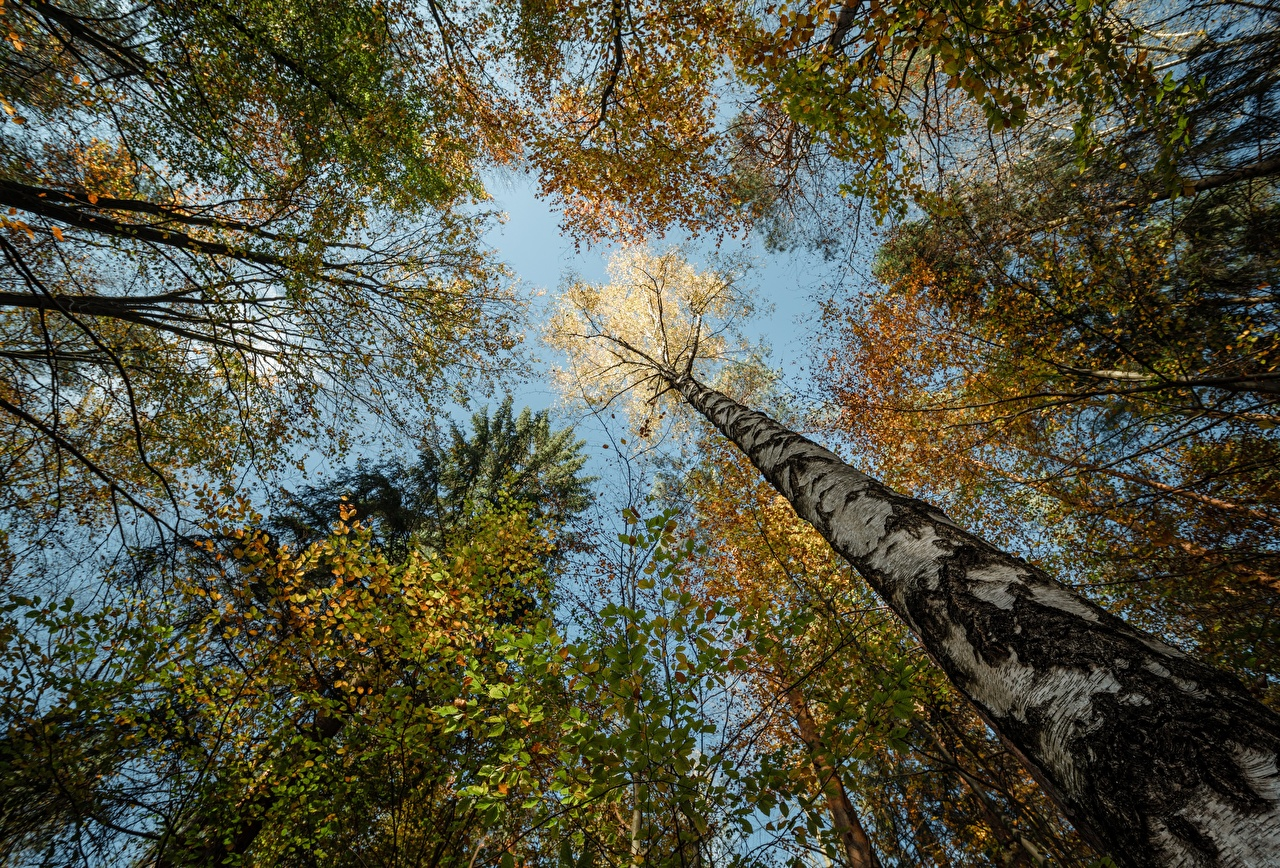 Images Germany Bottom view Niederrathen Birch Autumn Nature Forests Trunk tree forest