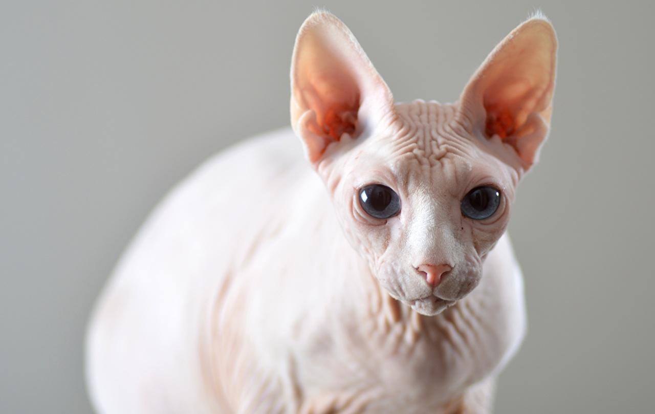Images Sphynx cat cat blurred background Head Staring Animals Cats Bokeh Glance animal