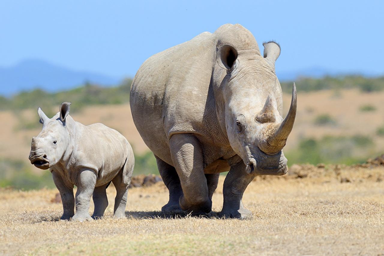 Fotos Rhinozeros babys Horn Mutter 2 Tiere Nashörner Jungtiere Zwei ein Tier