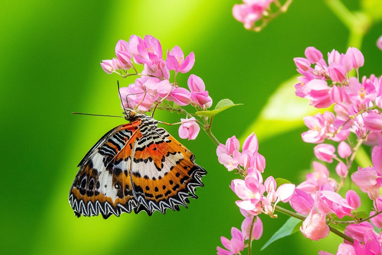 Desktop Hintergrundbilder Insekten Schmetterling Tiere Nahaufnahme Schmetterlinge hautnah ein Tier Großansicht