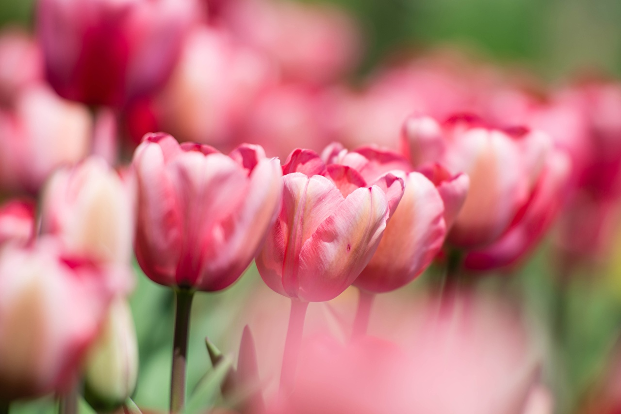Image Bokeh Tulips Pink color Flowers blurred background tulip flower