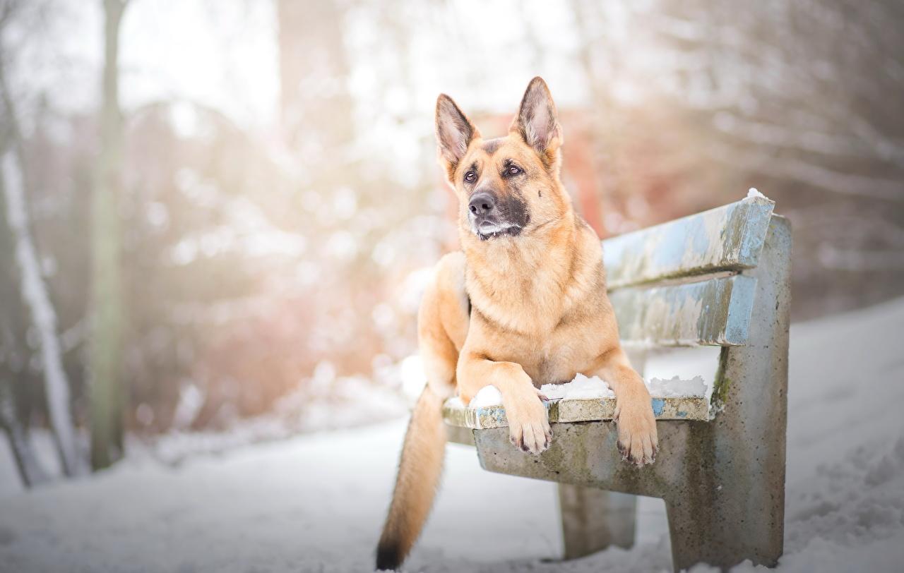 Hintergrundbilder Shepherd Deutscher Schäferhund Hunde Winter Bank (Möbel) Tiere