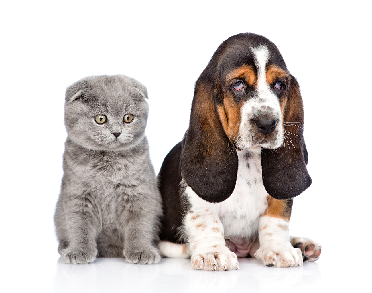 Wallpaper Kittens Basset Hound Dogs Cats Two animal White background kitty cat dog cat 2 Animals