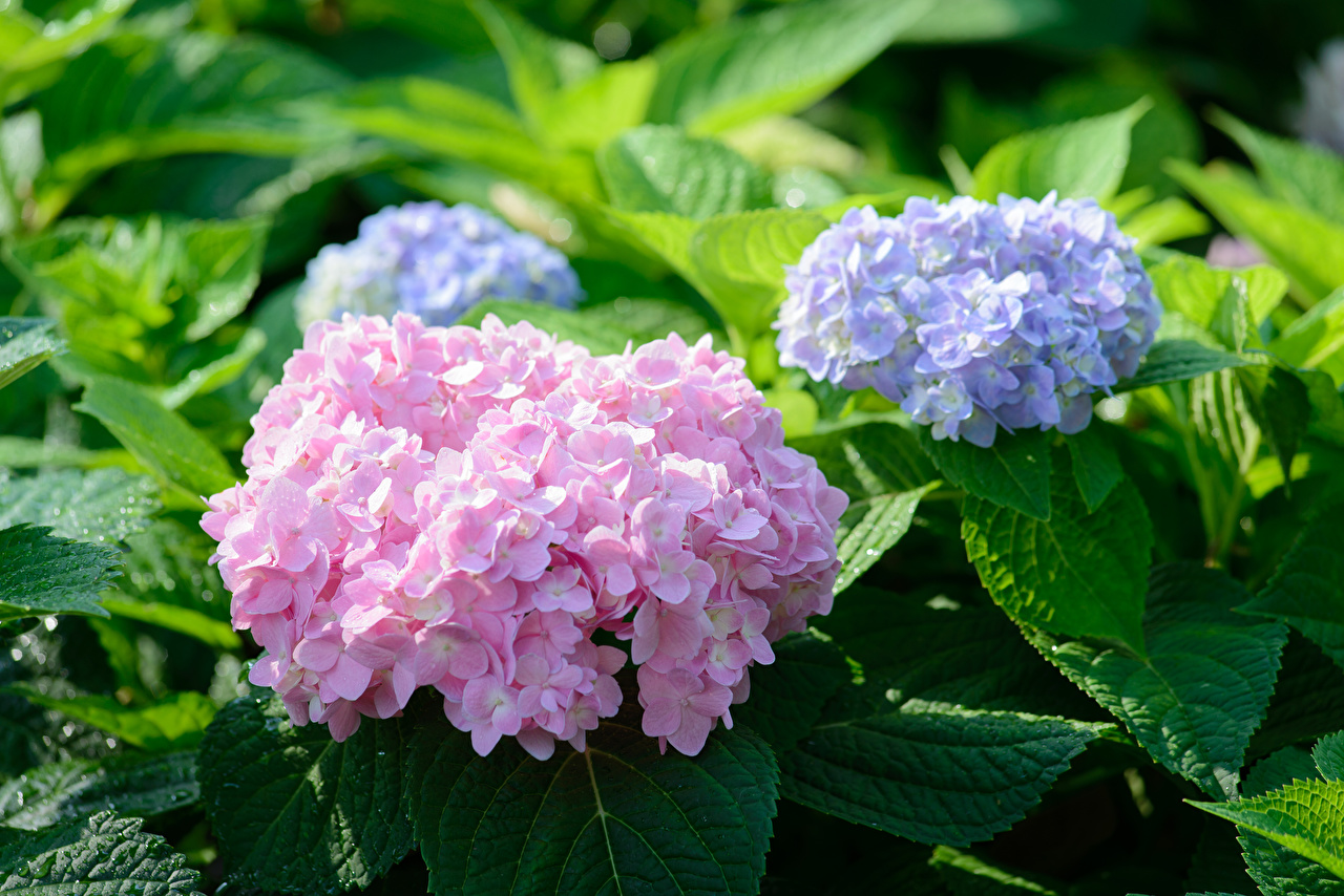 Bilder Violett Rosa Farbe Blüte Hortensien Blumen Hortensie