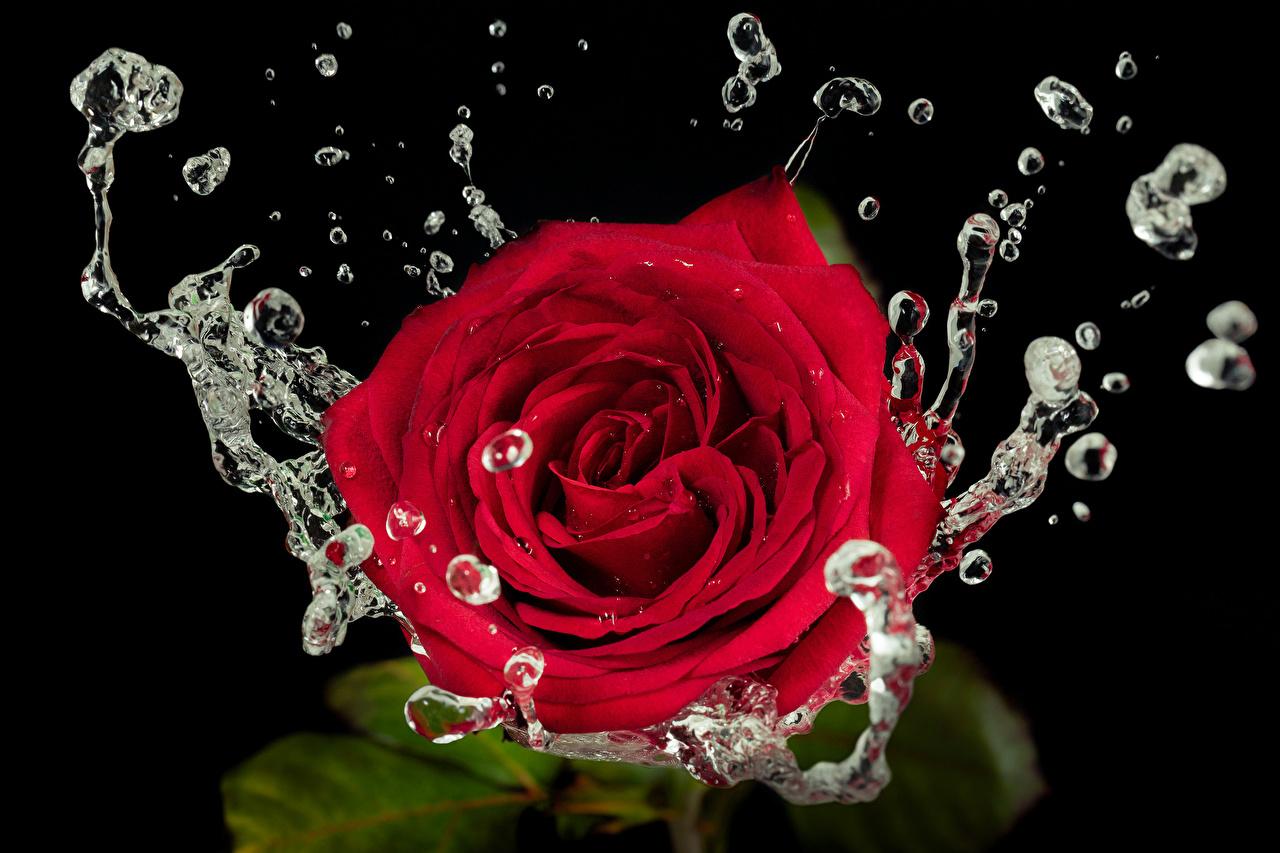 Обои капли, красная роза. Цветы foto 9