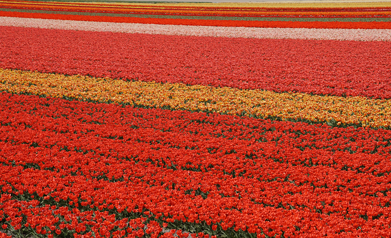 Wallpaper Netherlands Lisse tulip Fields Flowers Many Tulips flower