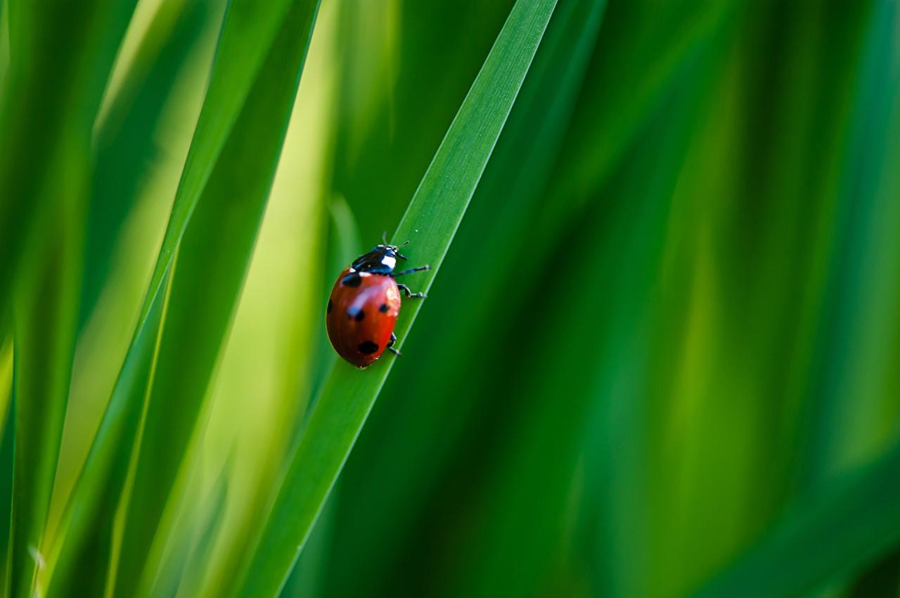Images Coccinellidae Nature Grass Ladybird Ladybugs Lady beetle