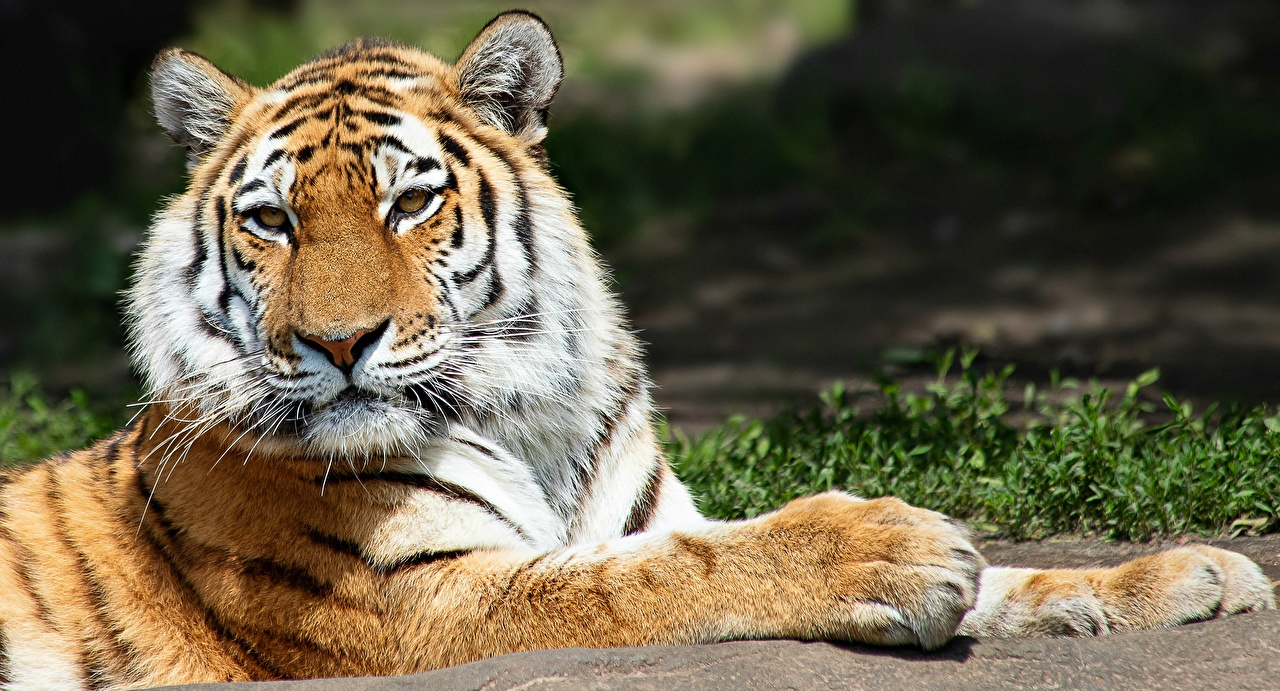 Images tiger Paws animal Staring Tigers Glance Animals