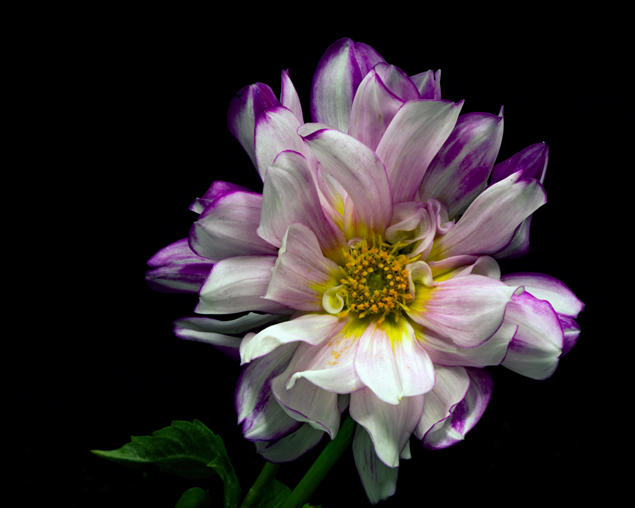 Bilder von Blumen Dahlien Nahaufnahme Schwarzer Hintergrund Blüte Georginen hautnah Großansicht