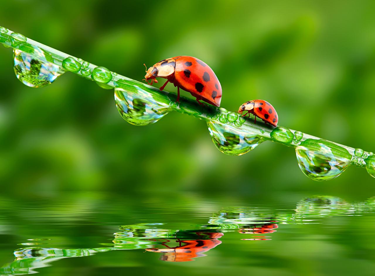 Picture Ladybugs Two Drops Animals Ladybird Lady beetle Coccinellidae 2 animal