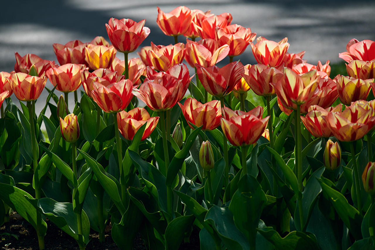 Pictures Tulips Flowers Many Closeup tulip flower