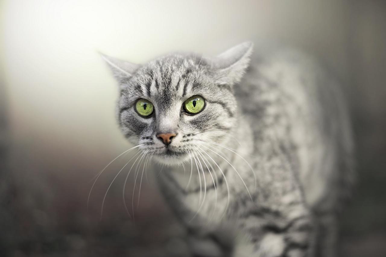 Bilder von Katze Schnurrhaare Vibrisse Schnauze Tiere Starren Blick