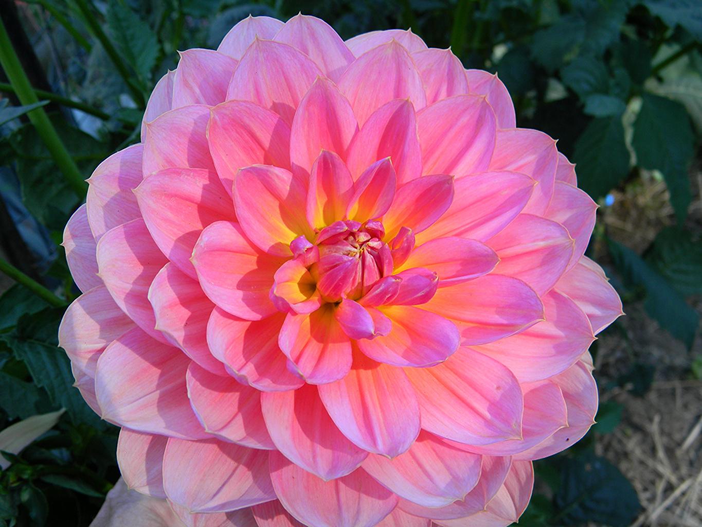 Fonds D Ecran Dahlias En Gros Plan Rose Couleur Fleurs