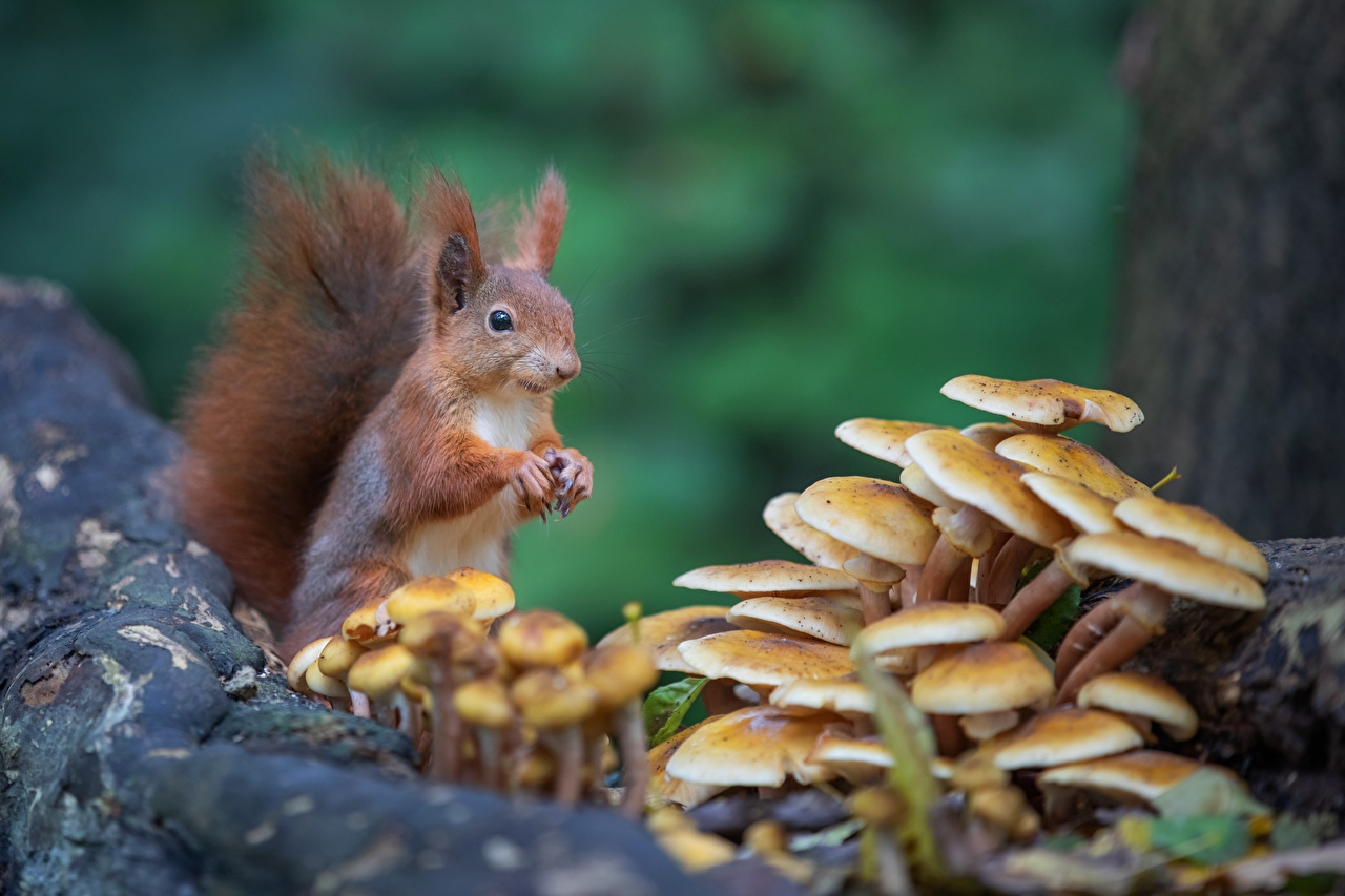 Image Squirrels Rodents Bokeh Mushrooms nature animal blurred background Animals
