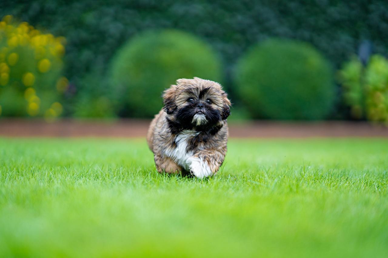 Foto welpen Shih Tzu Hunde Lauf unscharfer Hintergrund Gras Tiere Welpe hund Laufen Laufsport Bokeh ein Tier