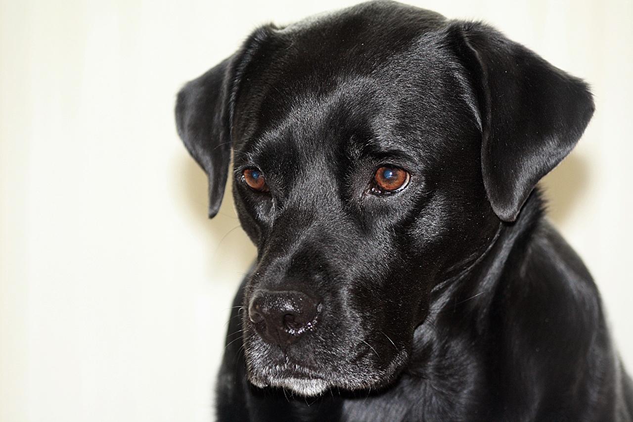 Photos dog Boxador Black Head animal Closeup Staring Dogs Glance Animals