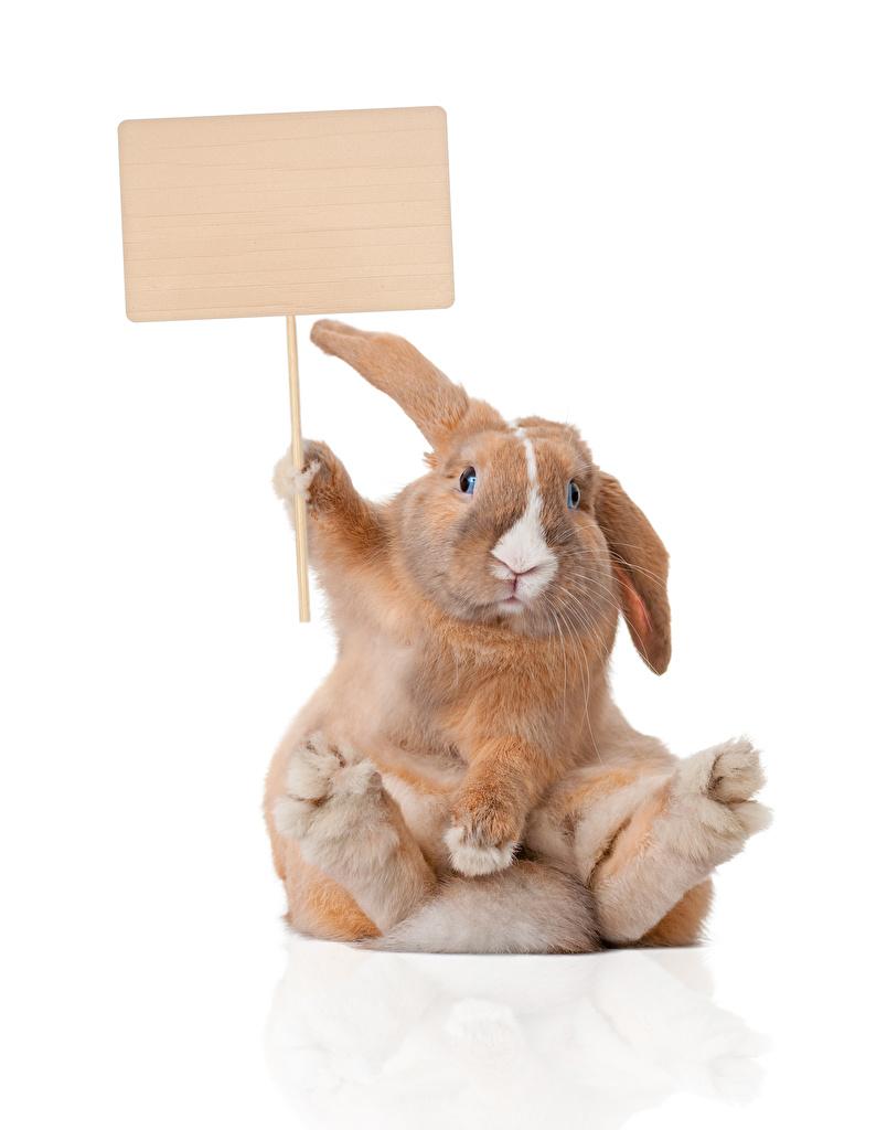 ,兔,白色背景,模板賀卡,坐,滑稽,好笑,動物,