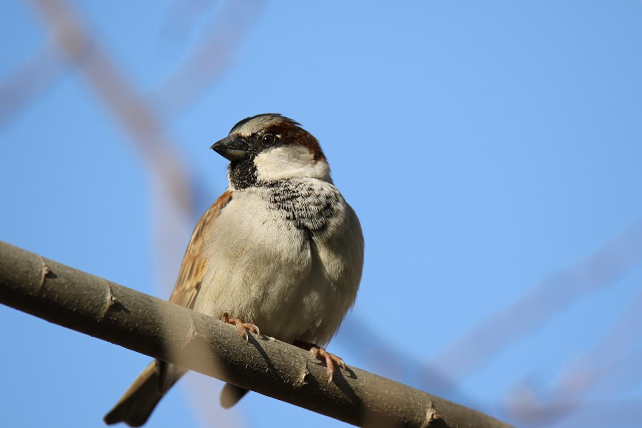 Bilder von Vögel Sperlinge Ast Tiere Vogel ein Tier