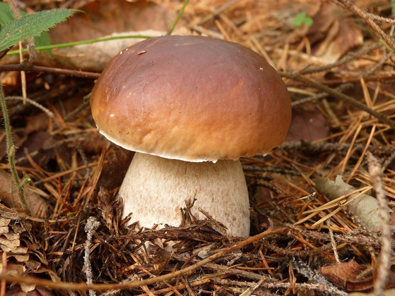 Picture Penny bun Nature Mushrooms nature Closeup porcino boletus edulis