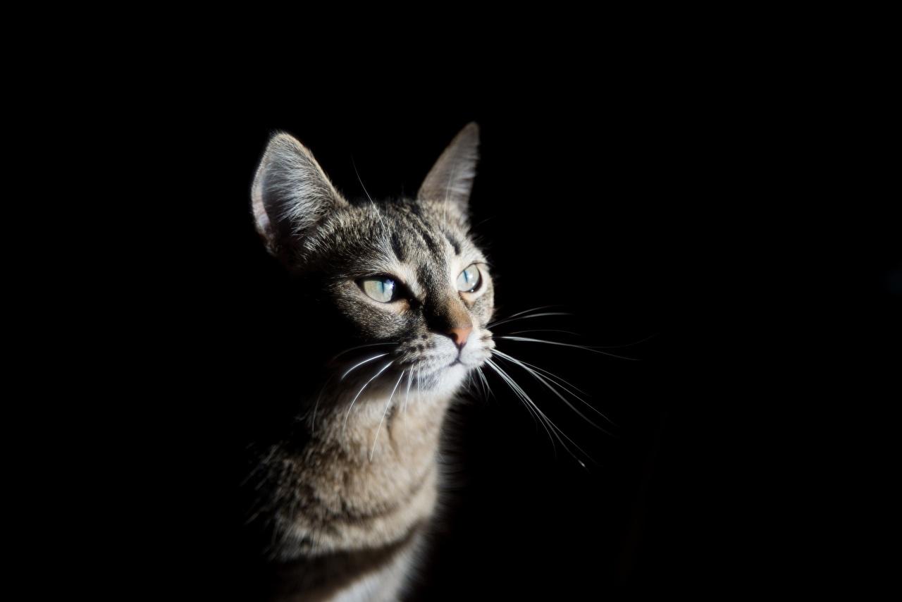 Bilder Katze Schnurrhaare Vibrisse Blick ein Tier Schwarzer Hintergrund Katzen Hauskatze Tiere Starren