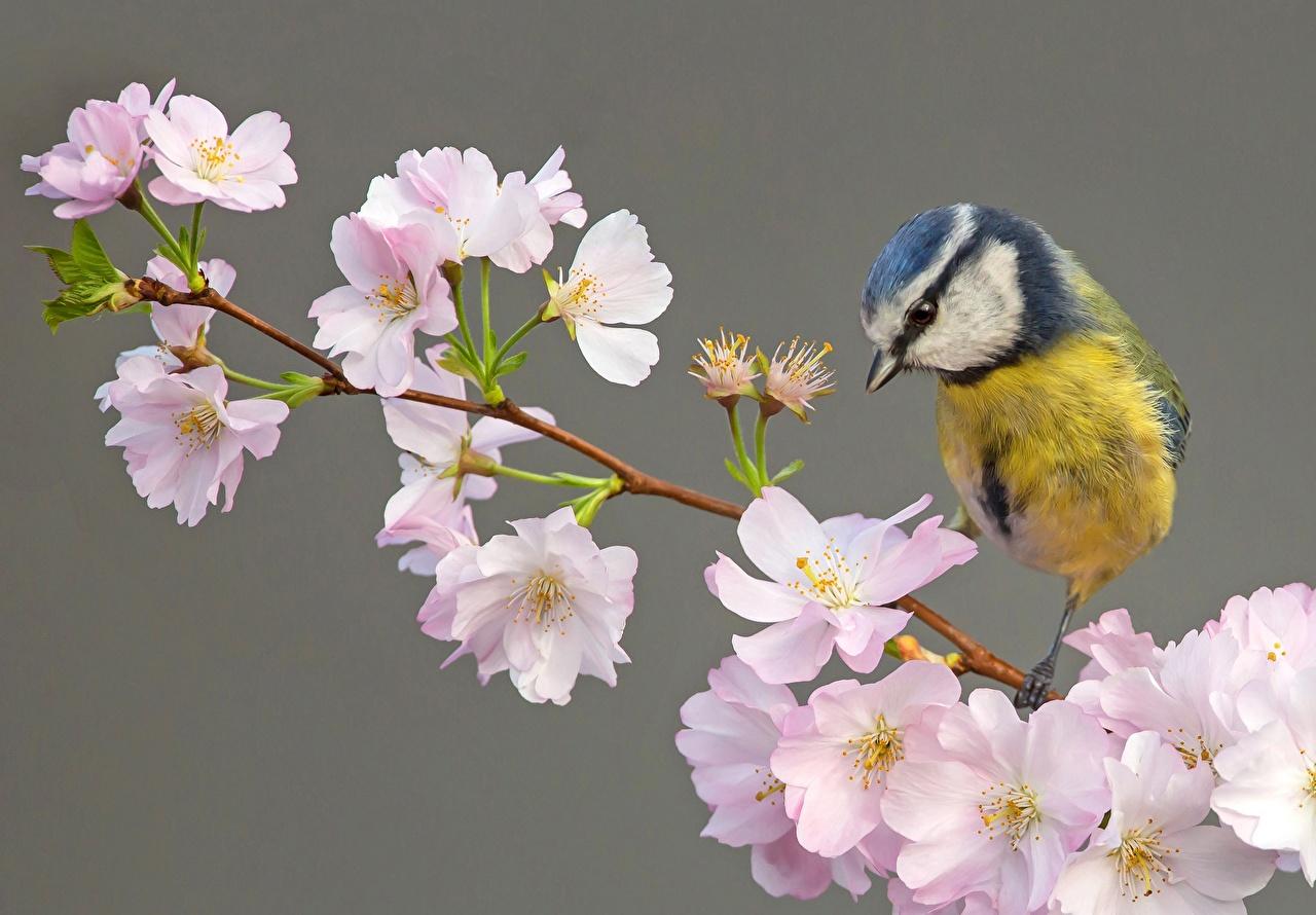 Images tit Birds Cherry blossom Flowers Branches animal Flowering trees bird Tits parus Sakura flower Animals