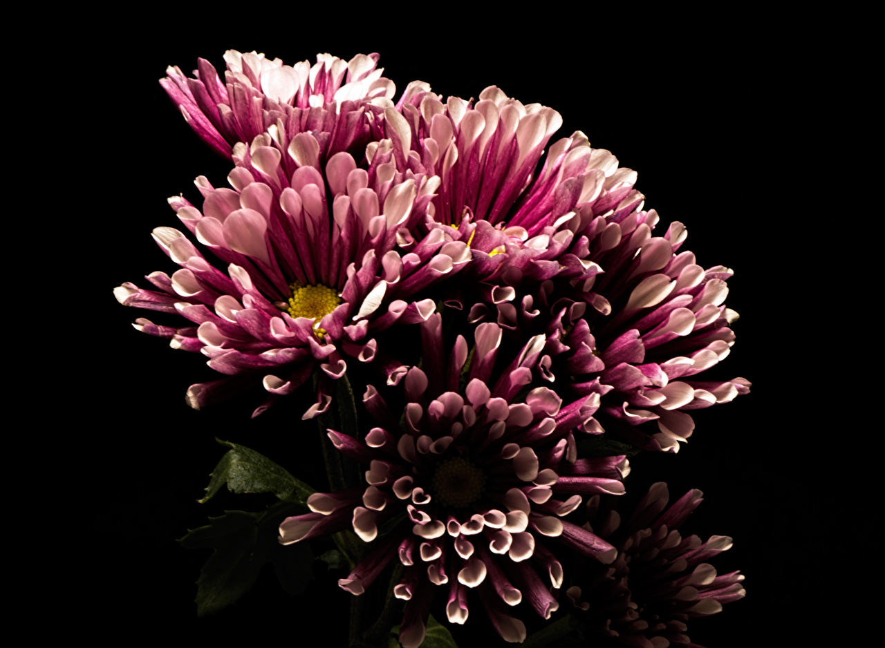 Images Mums flower Closeup Black background Flowers Chrysanths Chrysanthemums