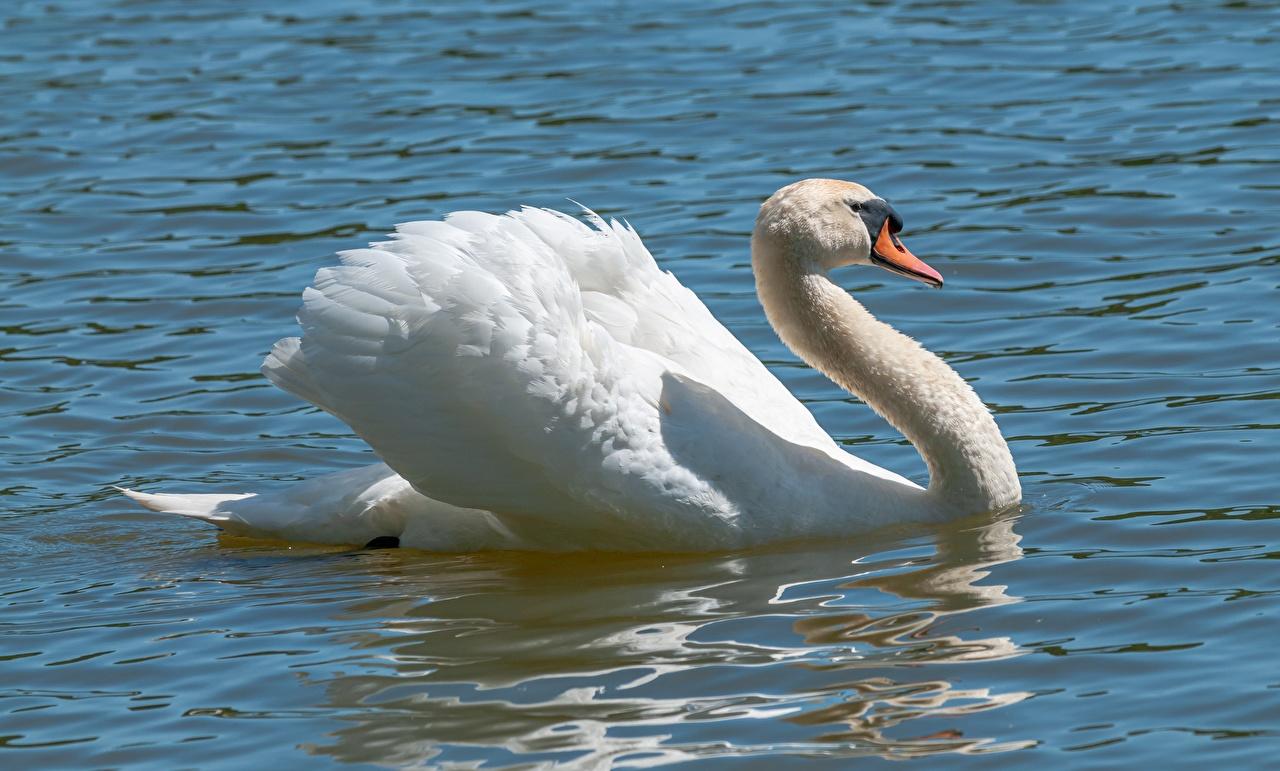 Photos Birds Swans White Water animal bird swan Animals
