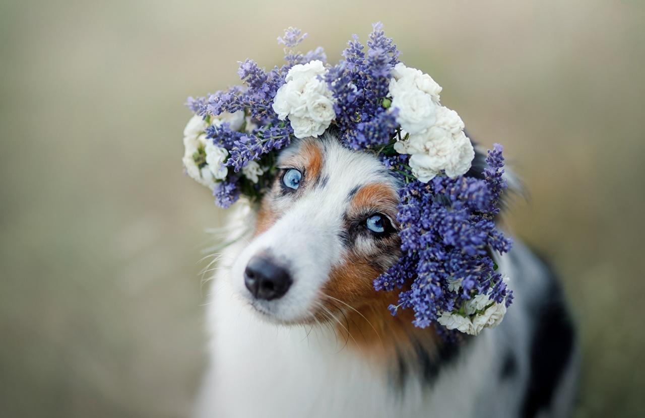 Bilder Australian Shepherd Hunde Süß Kranz Tiere Starren hund nett süße süßer süßes niedlich Blick ein Tier