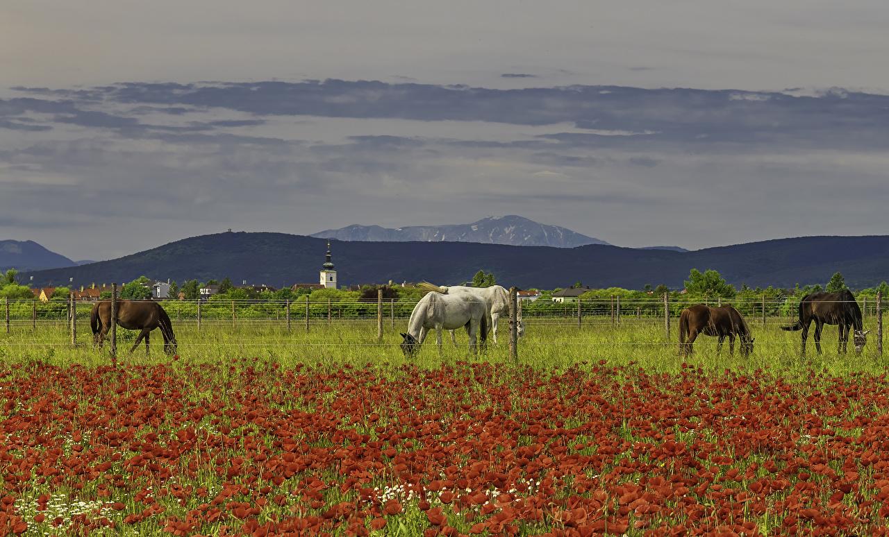 Campos Amapolas Caballo Valla animales, un animal, caballos, papaver, cerca Animalia