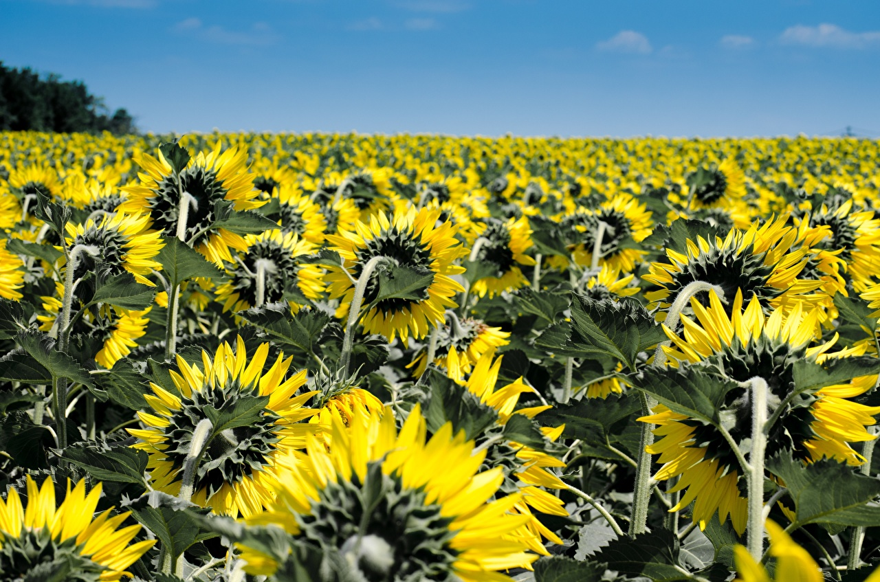 Fotos von Natur Acker Sonnenblumen Viel Felder