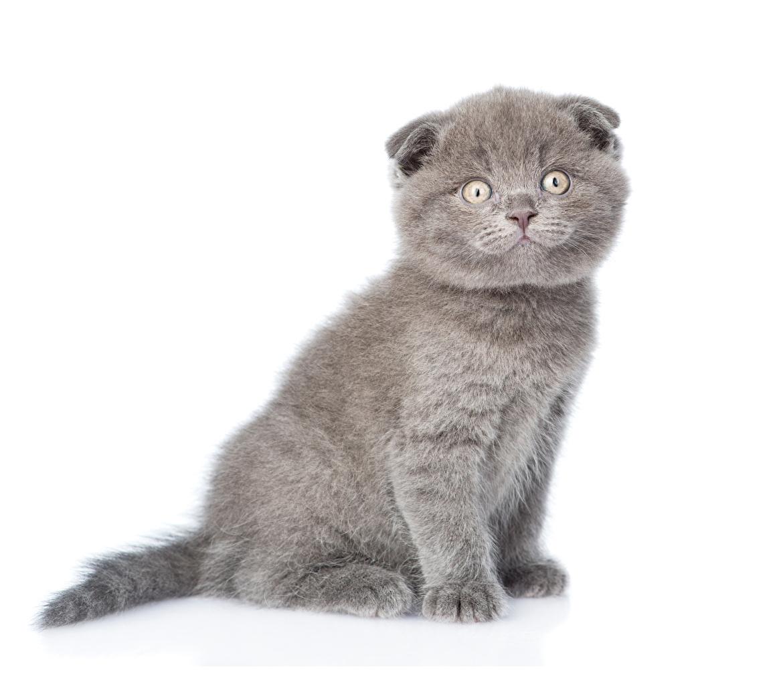 Fotos Kätzchen Schottische Faltohrkatze Katze graue ein Tier Weißer hintergrund Katzenjunges Katzen Hauskatze Grau graues Tiere