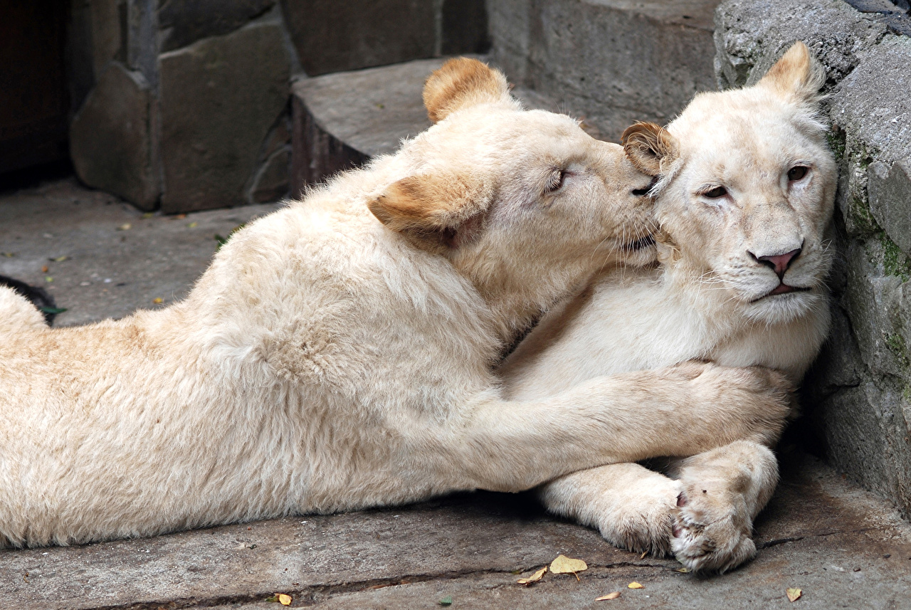 Pictures lion Big cats 2 White Animals Lions Two animal