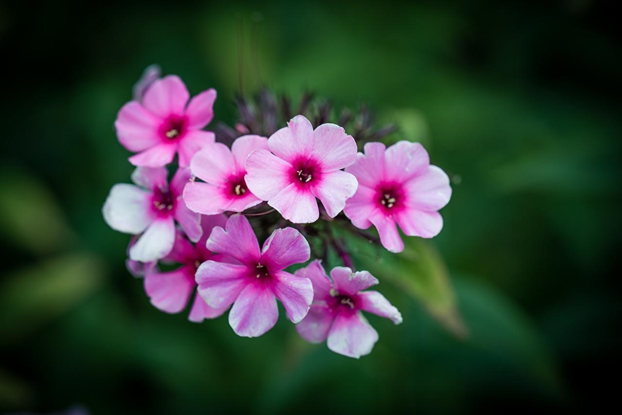 Desktop Hintergrundbilder Bokeh Rosa Farbe Phlox Blumen Nahaufnahme unscharfer Hintergrund Blüte Flammenblumen hautnah Großansicht