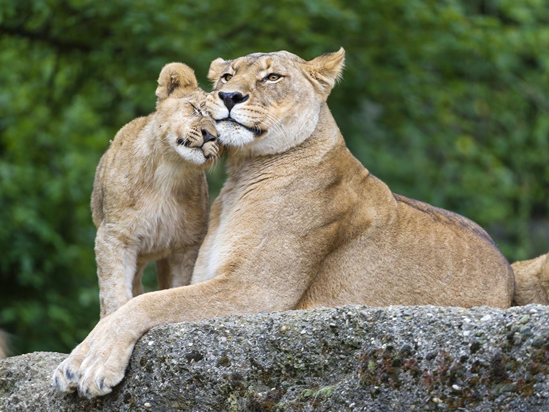 Achtergronden leeuw Pantherinae jonge Twee 2 Stenen een dier Leeuwen Welpen steen Dieren