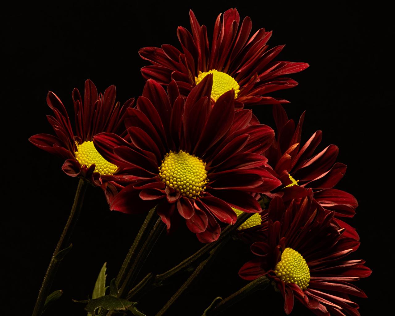 Wallpaper Wine color Mums Flowers Closeup Black background maroon burgundy dark red flower Chrysanths Chrysanthemums