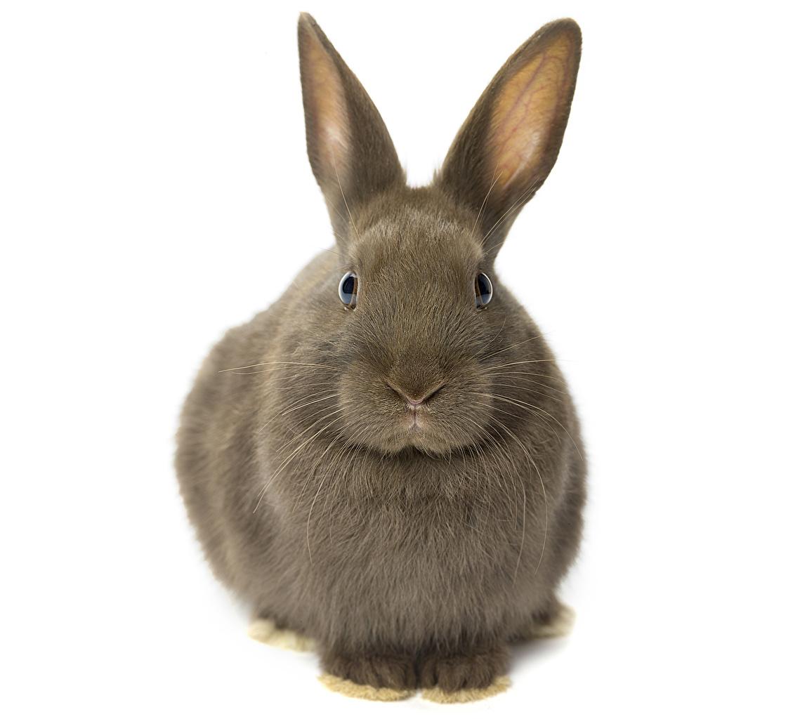 Afbeelding konijnen Knaagdieren Dieren Konijn een dier