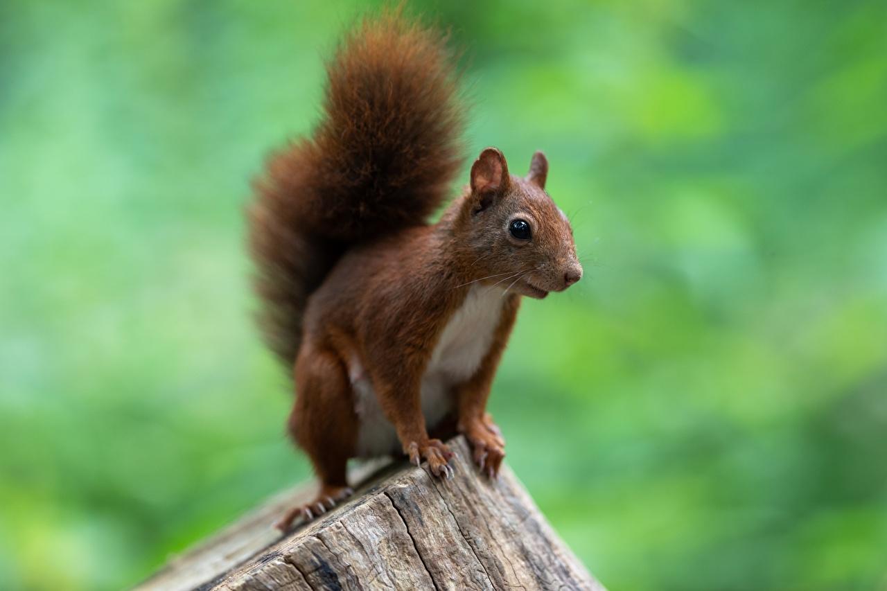 Photos Squirrels Rodents Bokeh Tree stump Animals blurred background animal