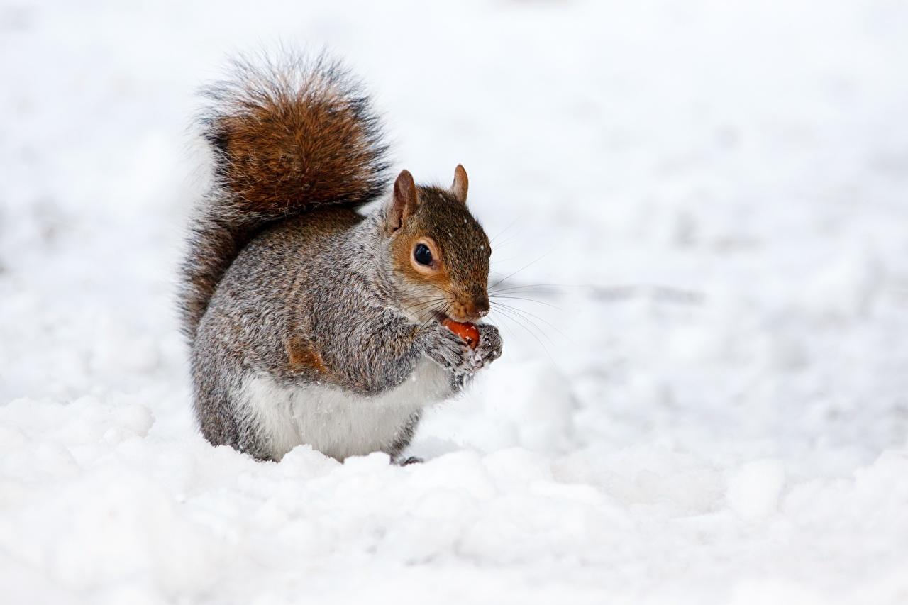 Bilder von Eichhörnchen Winter Schnee Tiere Hörnchen