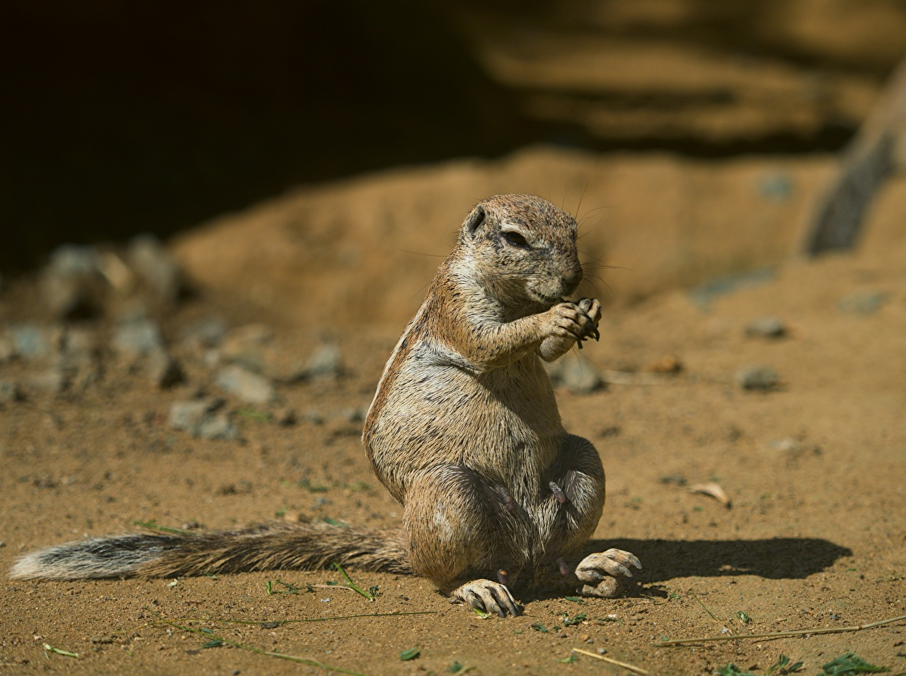 Image Rodents Gophers Bokeh animal blurred background Animals