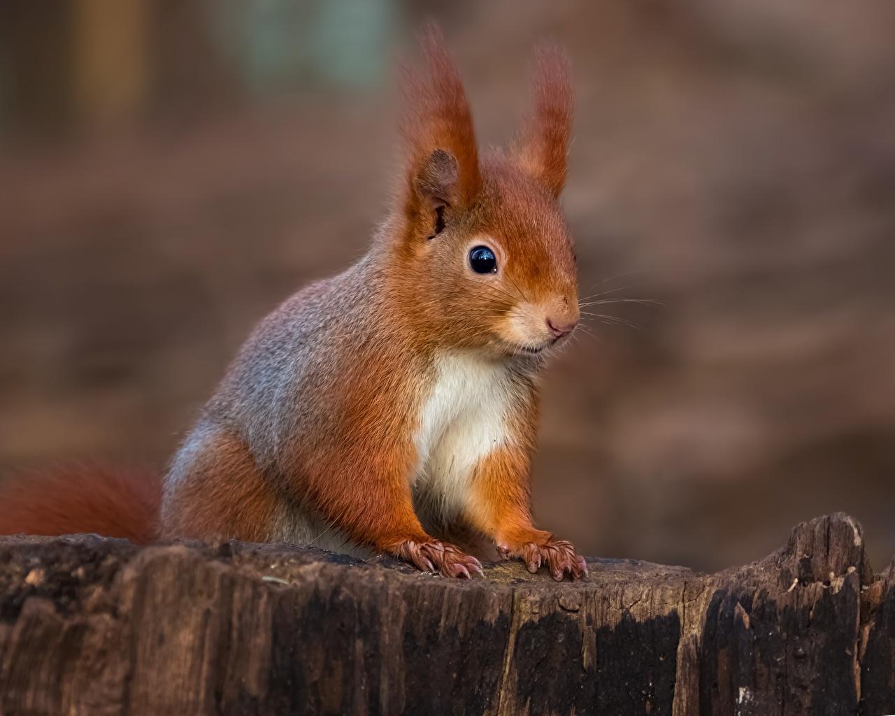 Desktop Wallpapers Squirrels Tree stump Animals animal